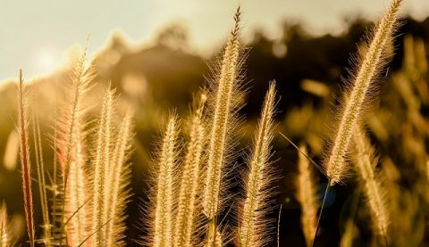 щетинник зеленый, солнце